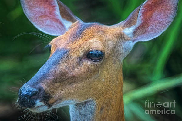 Photograph - Deer Portrait by Deborah Benoit