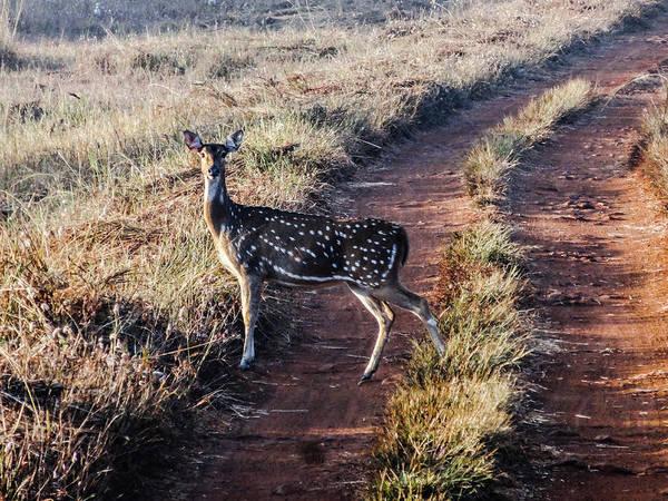 Deer Posing Art Print