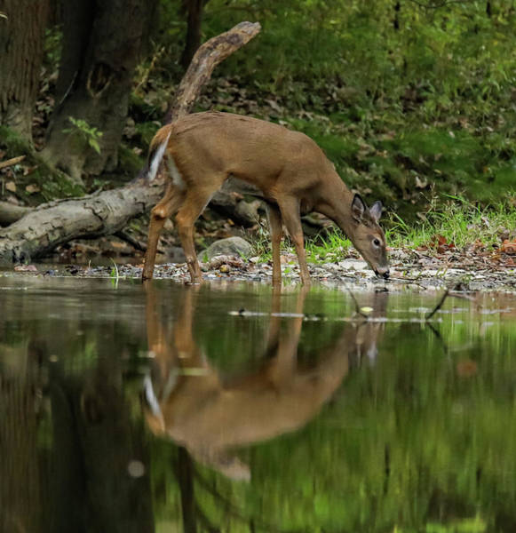 Wall Art - Photograph - Deer Reflection by Dan Sproul