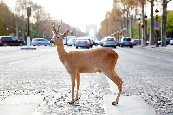 Out Of Context Photograph - Deer Standing In Crosswalk On by Chris Tobin