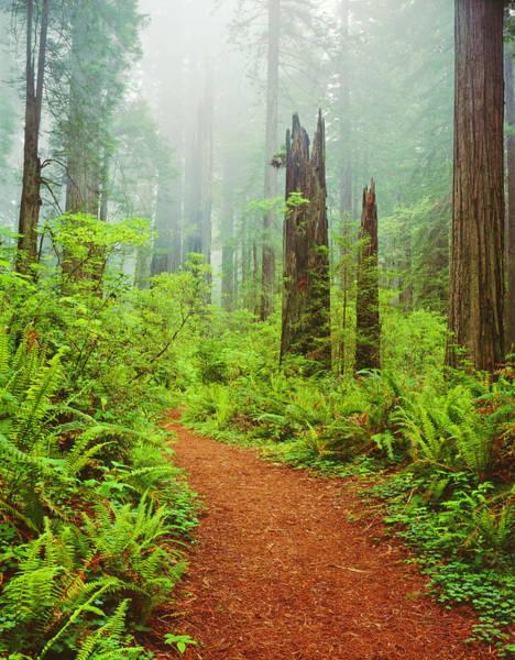 Sequoia Grove Photograph - Del Norte Coast Redwoods St. Park by Ron thomas