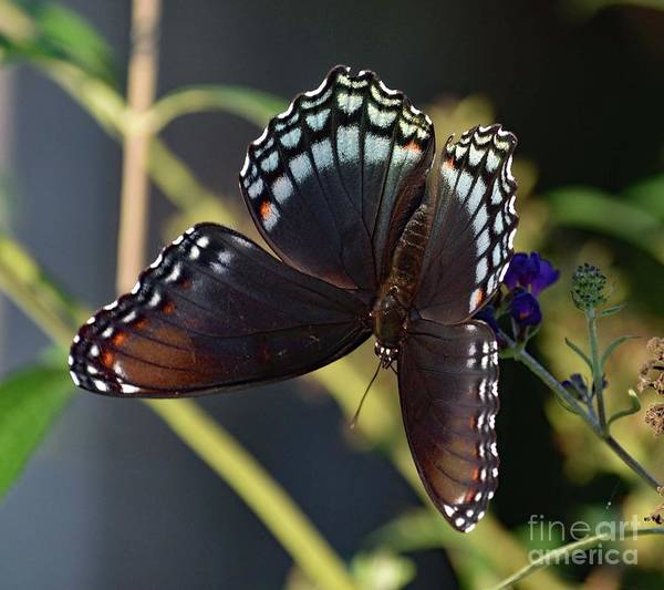 Dwayne Johnson Wall Art - Photograph - Delicate Beauty Red-spotted Purple by Cindy Treger