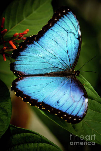 Wall Art - Photograph - Delicate Blue Morpho Butterfly by Sabrina L Ryan