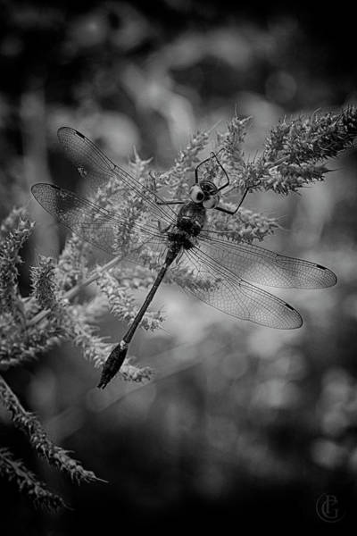 Digital Art - Delicate Dragonfly by Patrick Groleau