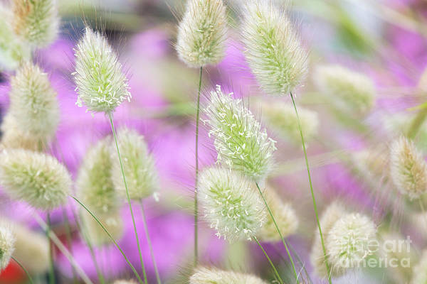 Photograph - Delicate Hare's Tail Grass by Tim Gainey