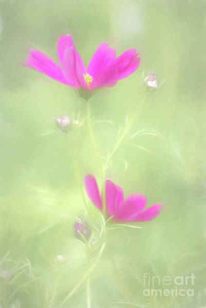 Photograph - Delicate Painted Cosmos by Anita Pollak