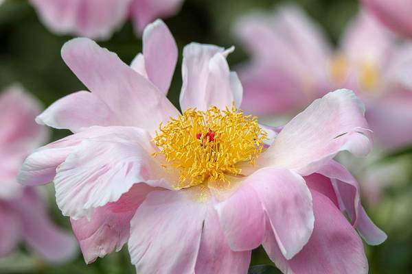 Photograph - Delicate Pink Peony by Susan Rydberg