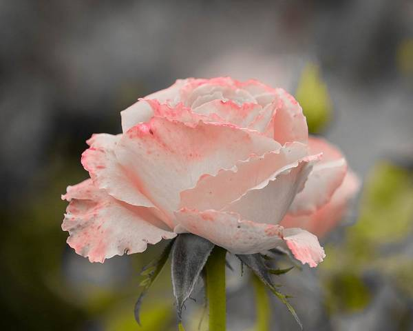 Photograph - Delicate Rose by Susan Rydberg