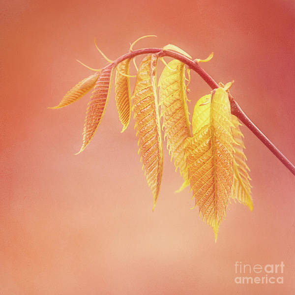 Photograph - Delightful Baby Chestnut Leaves by Anita Pollak