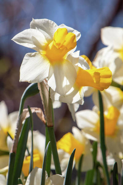 Photograph - Delightful Daffodils 1682 By Tl Wilson Photography by Teresa Wilson