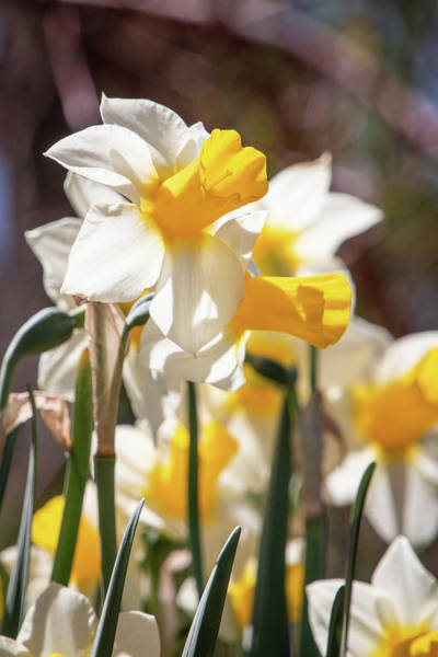 Photograph - Delightful Daffodils 1687 By Tl Wilson Photography by Teresa Wilson