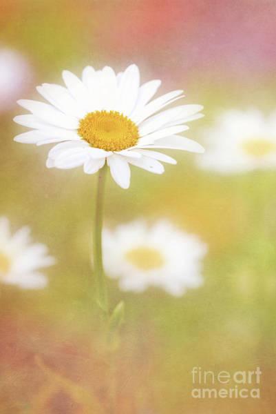 Photograph - Delightful Daisy Portrait by Anita Pollak