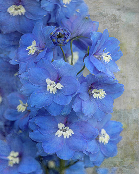 Photograph - Delightful Delphiniums By Tl Wilson Photography by Teresa Wilson
