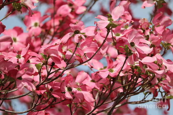 Photograph - Delightful Dogwood by Carol Groenen