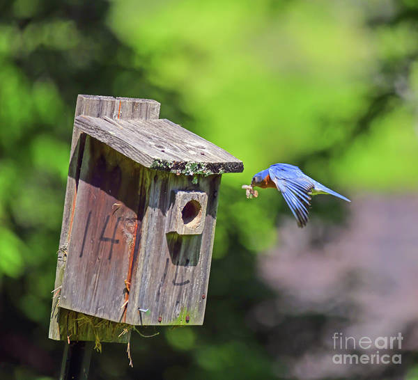Photograph - Delivery For House 14 - Male Eastern Bluebird by Kerri Farley