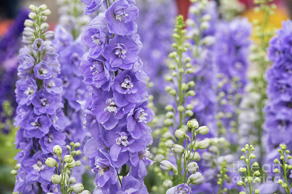 Wall Art - Photograph - Delphinium Aurora Lavender  by Tim Gainey