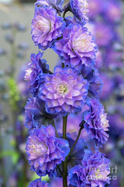 Wall Art - Photograph - Delphinium Highlander Bolero  by Tim Gainey