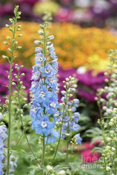 Wall Art - Photograph - Delphinium Magic Fountains Sky Blue White Bee Flower by Tim Gainey
