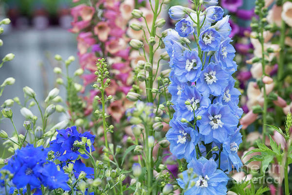 Wall Art - Photograph - Delphinium Magic Fountains Sky Blue White Bee by Tim Gainey