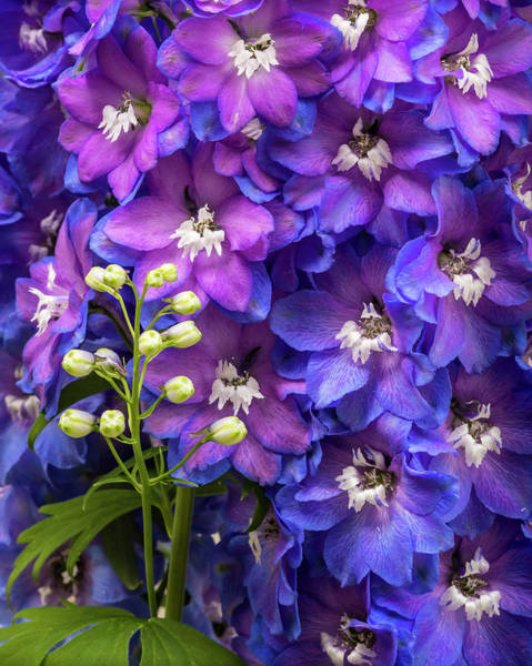 Photograph - Delphinium by Mark Mille