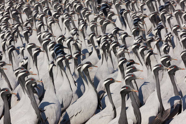 Look Away Photograph - Demoiselle Cranes, Khichan, India by Mint Images/ Art Wolfe