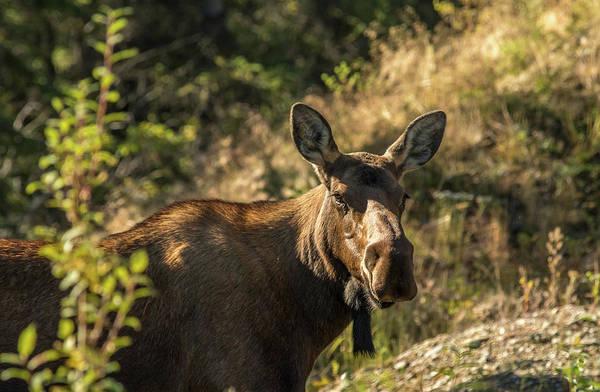 Photograph - Denali Moose by Brenda Jacobs