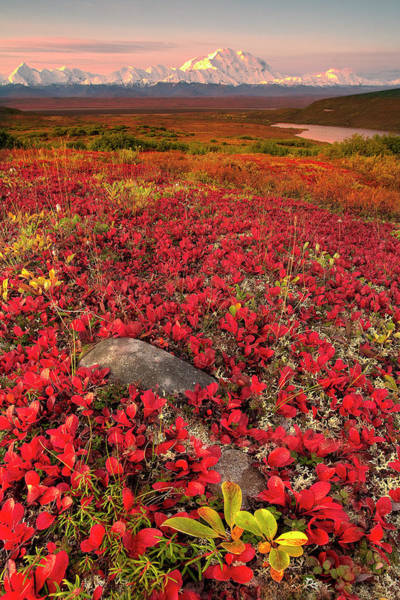 Scenic Photograph - Denali National Park Fall Colors by Kevin Mcneal