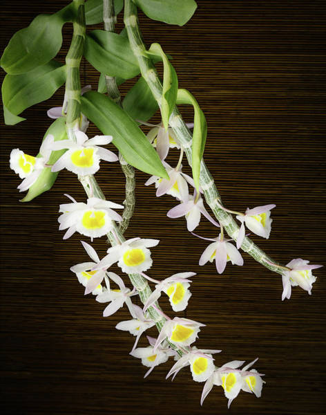 Photograph - Dendrobium Primulinum Orchid-2 by Rudy Umans