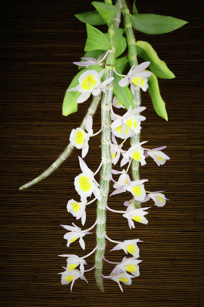Photograph - Dendrobium Primulinum Orchid by Rudy Umans