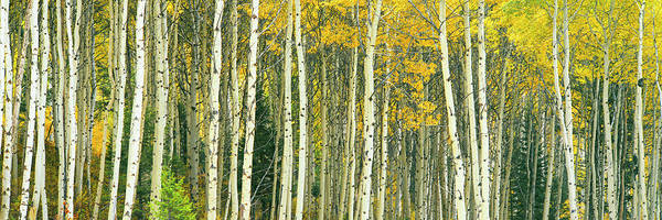 Wall Art - Photograph - Dense Of Aspen Trees In A Forest, Grand by Panoramic Images