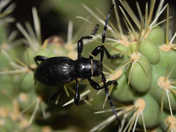 Photograph - Desert Beetle by Chance Kafka