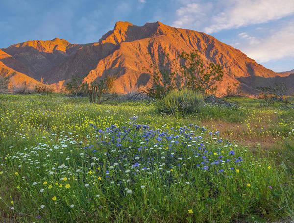Photograph - Desert Bluebell And California Desert by
