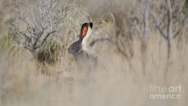 Photograph - Desert Bunny by Robert WK Clark