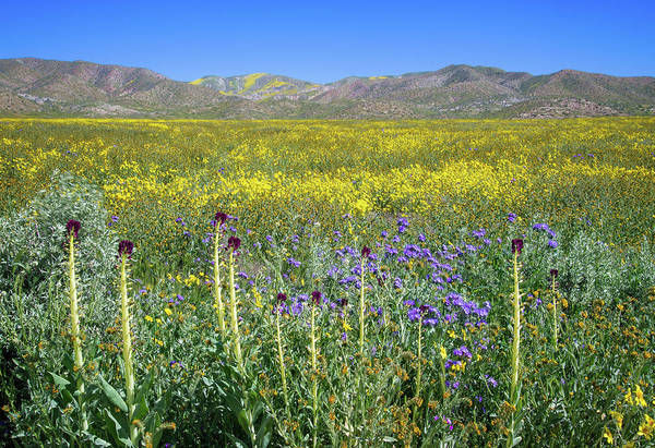 Photograph - Desert Candles On The Carrizo - Superbloom 2017 by Lynn Bauer