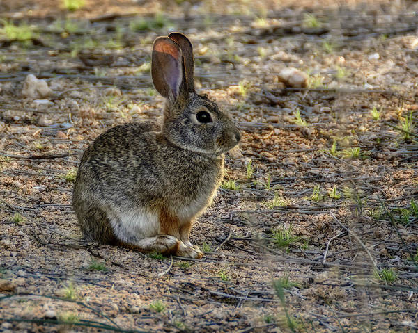 Photograph - Desert Cottontail H1950 by Mark Myhaver