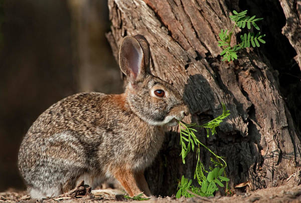Cottontail Photograph - Desert Cottontail Rabbit Eating Plant by Danita Delimont
