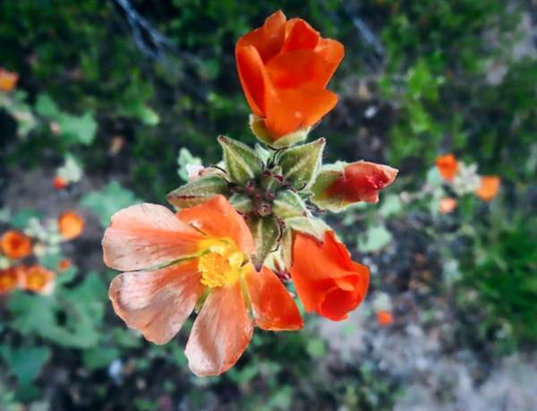 Photograph - Desert Globemallow Dancer by Judy Kennedy