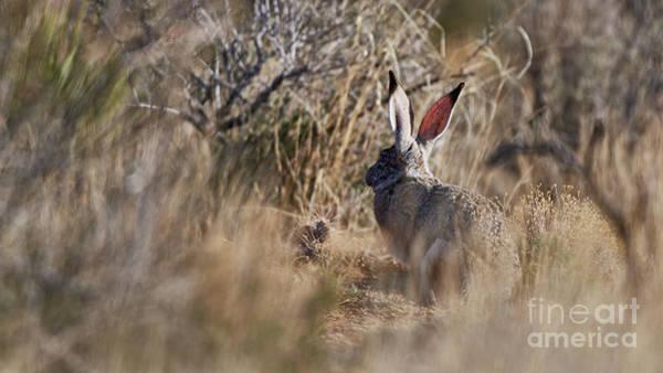Photograph - Desert Hare by Robert WK Clark