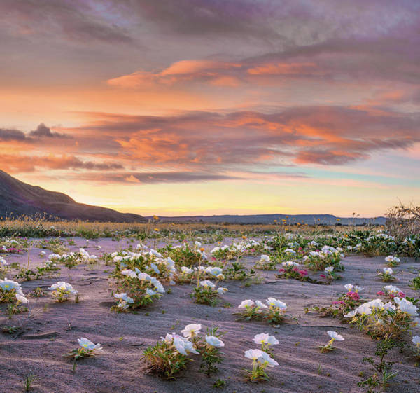 Photograph - Desert Lily Spring Bloom, Anza-borrego by
