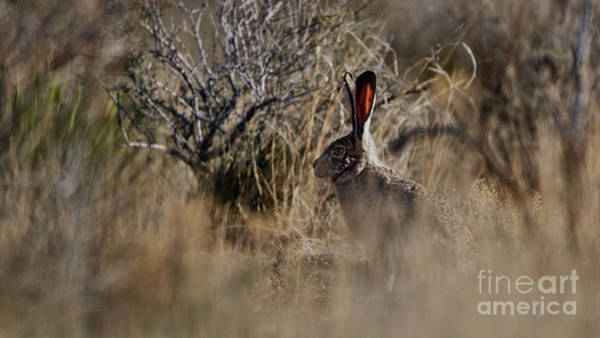 Photograph - Desert Rabbit by Robert WK Clark