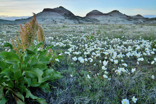 Photograph - Desert Roses Beneath Ruby Mountain by Ray Mathis