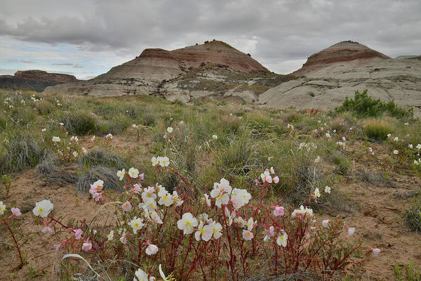 Photograph - Desert Roses Bloom In Ruby Mountain Prairie by Ray Mathis