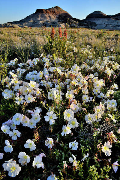 Photograph - Desert Roses Near Ruby Mountain In Grand Junction Co by Ray Mathis
