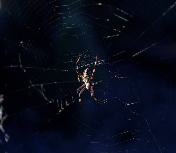 Photograph - Desert Spider by Chance Kafka
