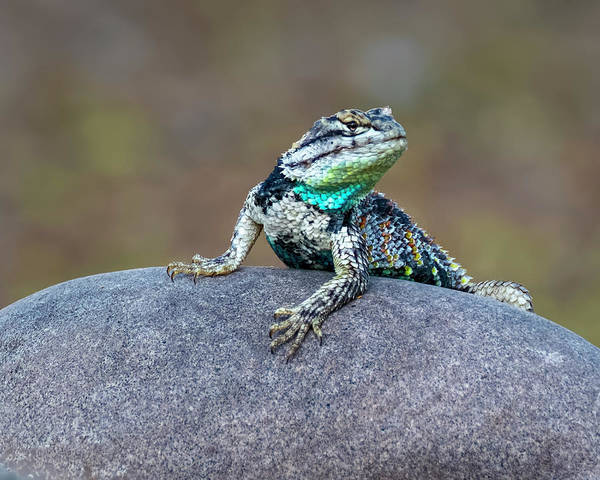 Photograph - Desert Spiny Lizard H1845 by Mark Myhaver