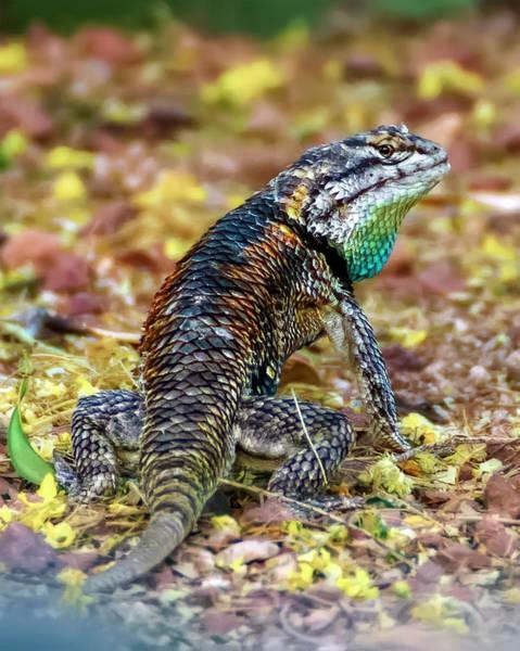 Photograph - Desert Spiny Lizard V1856 by Mark Myhaver