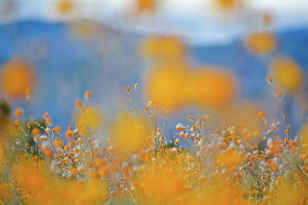 Photograph - Desert Sunflower Anza Borrego by Kyle Hanson