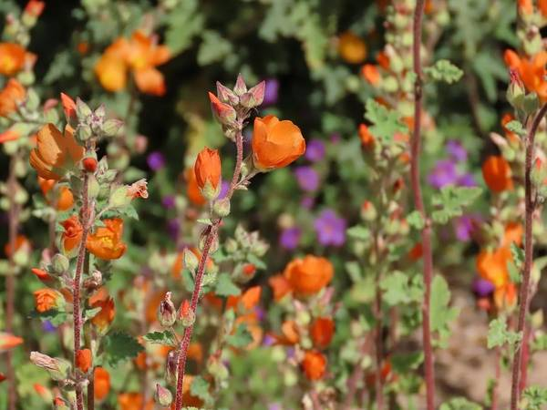 Photograph - Desert Wildflowers by Judy Kennedy