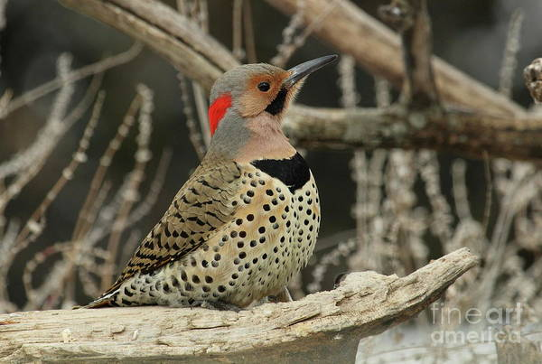 Northern Flicker Photograph - Immaculate Design by Gail Huddle