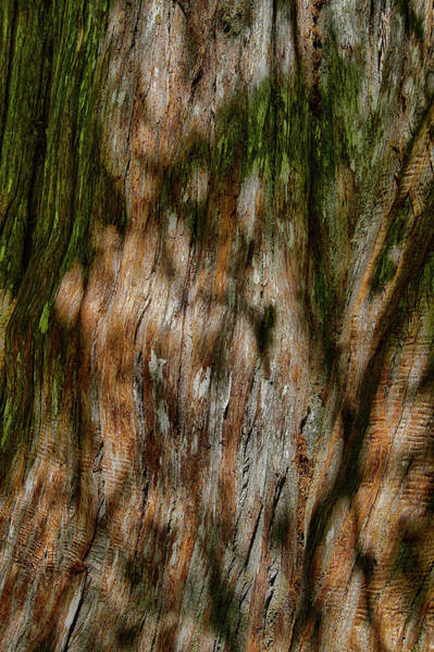 Photograph - Detail Of Bark On Huge  Tree by Steve Estvanik